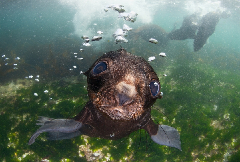 Sea Baby - Andrey Narchuk: Baby fur seal in Bering sea. (Open Nature and Wildlife)