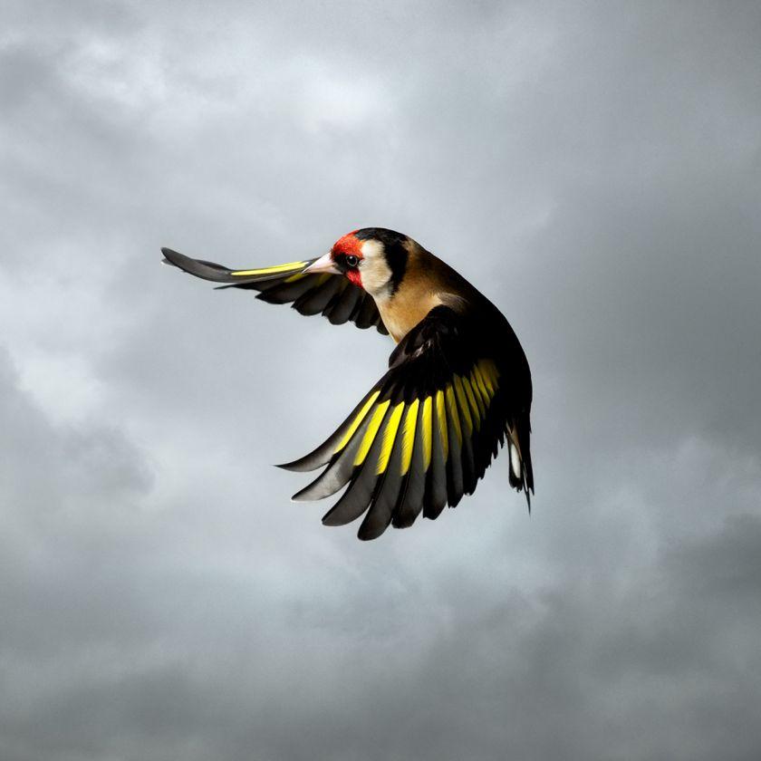 Goldfinch © Mark Harvey