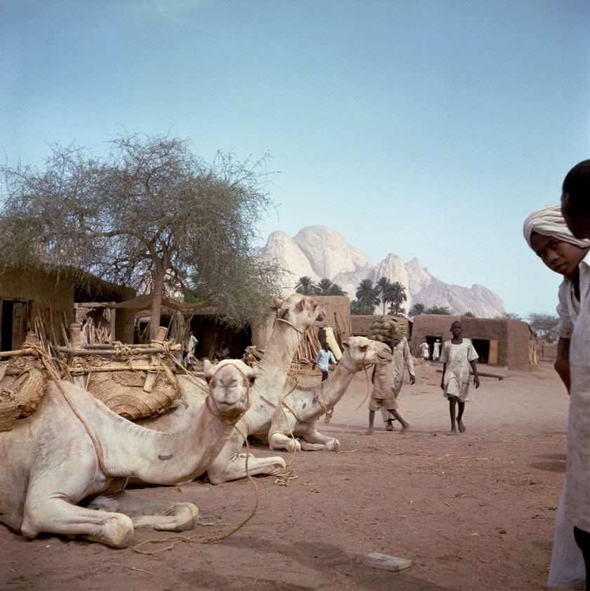 Sudan, 1958 – Camels resting with the Kassala hills in the background © 2021 Todd Webb Archive