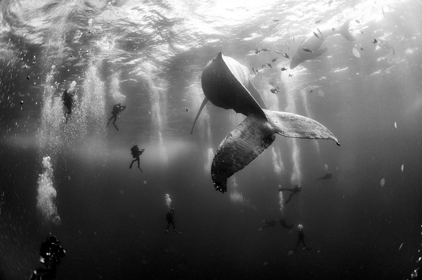 Nature, second prize singles: Divers observe and surround a humpback whale and her newborn calf whilst they swim around Roca Partida in the Revillagigedo Islands, Mexico. Anuar Patjane Floriuk.