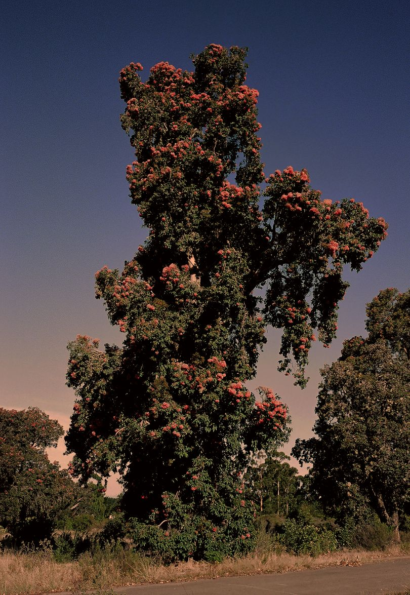 Flowering Gum J Keene © Justin Keene