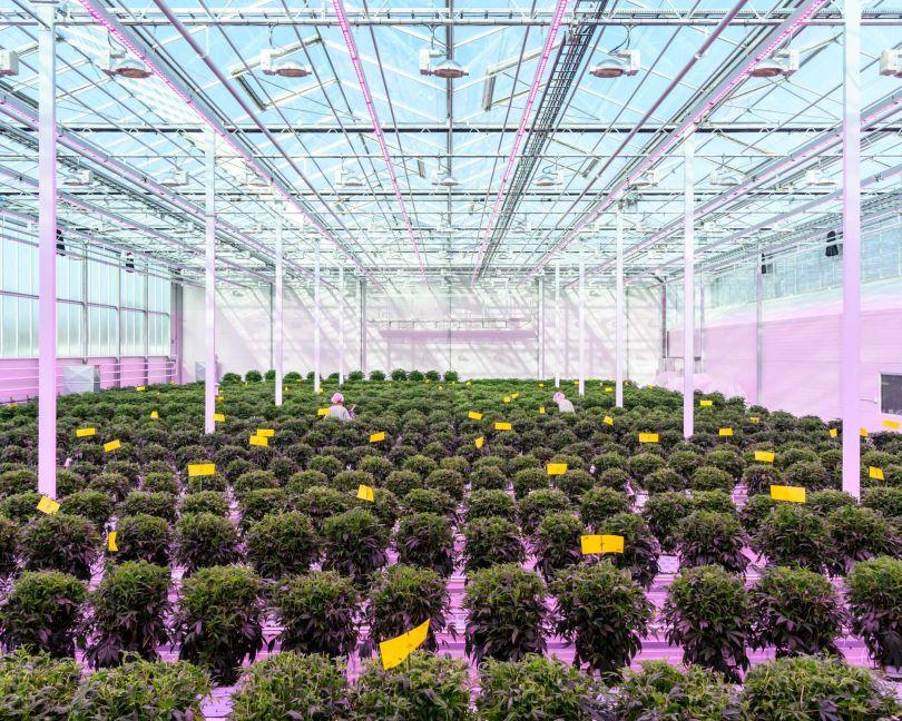 Medicinal cannabis greenhouse Aurora Nordic, Denmark © Alastair Philip Wiper