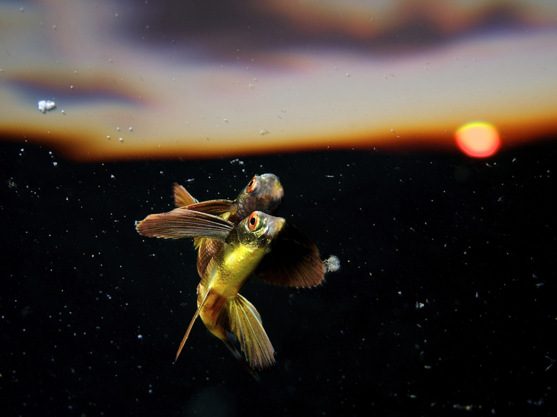 Flying into the Sunset - Eric Madeja: I came across this juvenile flying fish while diving in open water near Tubbataha Reefs, Philippines. Juvenile flying fish are often spotted hovering just below the surface, hiding inside natural or manmade debris, drifting the ocean currents. (Open Nature and Wildlife)