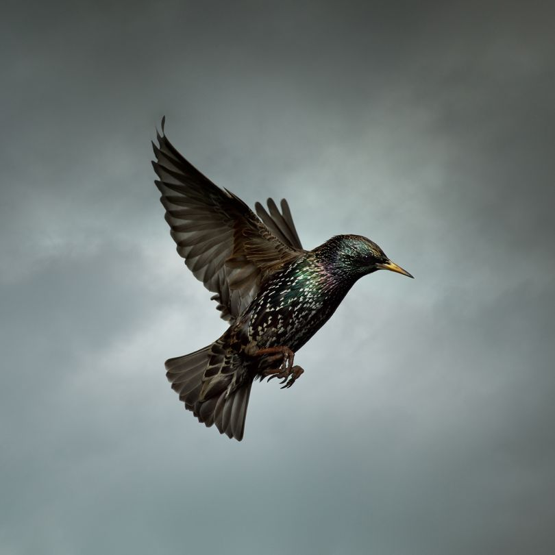 Starling © Mark Harvey