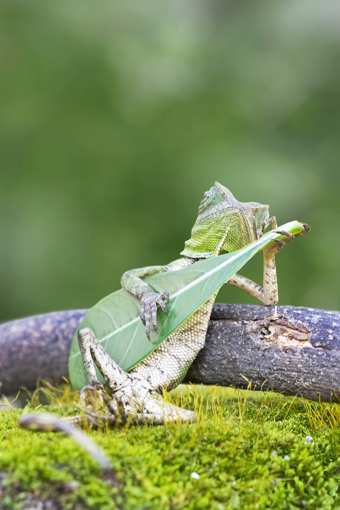 Lizard playing leaf © Charles Saatchi