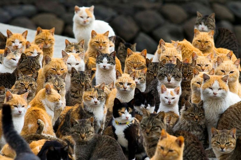 Image result for army of cats apan