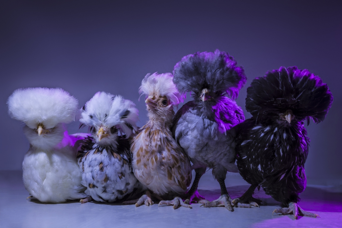 Chic Chicks Photographer Poses Baby Chickens As High Fashion Models