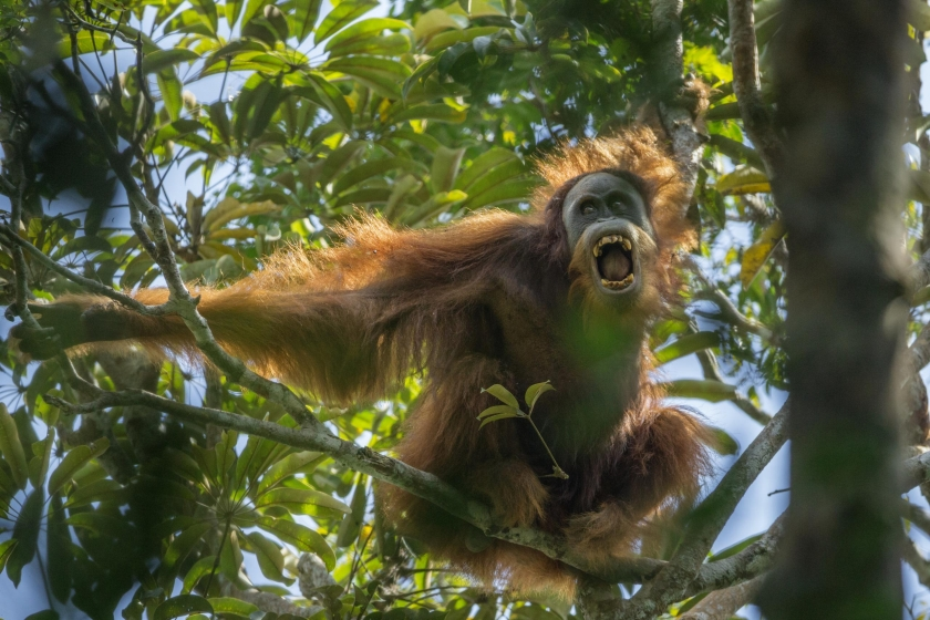 Nature, first prize stories: A Sumatran orangutan threatens another nearby male in the Batang Toru Forest, North Sumatra Province, Indonesia. Tim Laman.