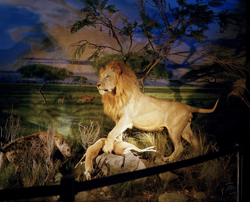 Lion - David Chancellor: here are now more captive Lions in South Africa than wild ones; approximately 8,000 compared to 2,000 living in the wild. (Professional Campaign)
