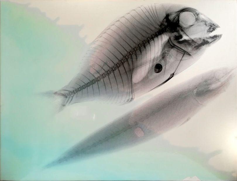 Vedere oltre, Aldilà del mare: Rx, Ritratto di pesce persico e sardina in bianco, 2000 Alcohol and resin on pigmented canvas. 84 x 110 cm (33.1 x 43.3 in)