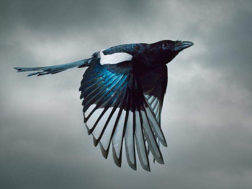 Magpie © Mark Harvey