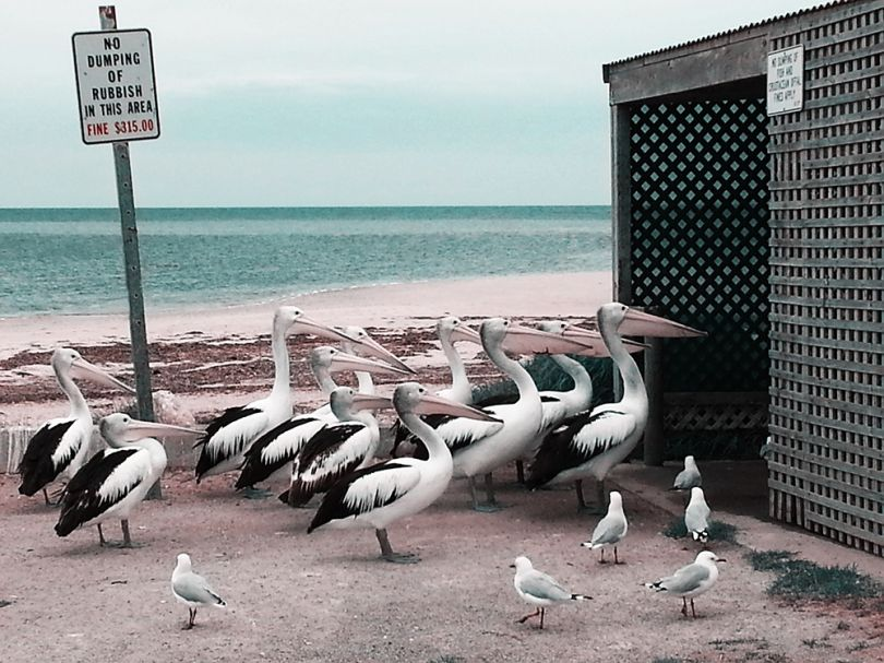 Pelican Feeding by Ramil Gilvanov/Rimma Gilvanova, Russia, Shortlist, Lifestyle, Professional Competition, 2015 Sony World Photography Awards