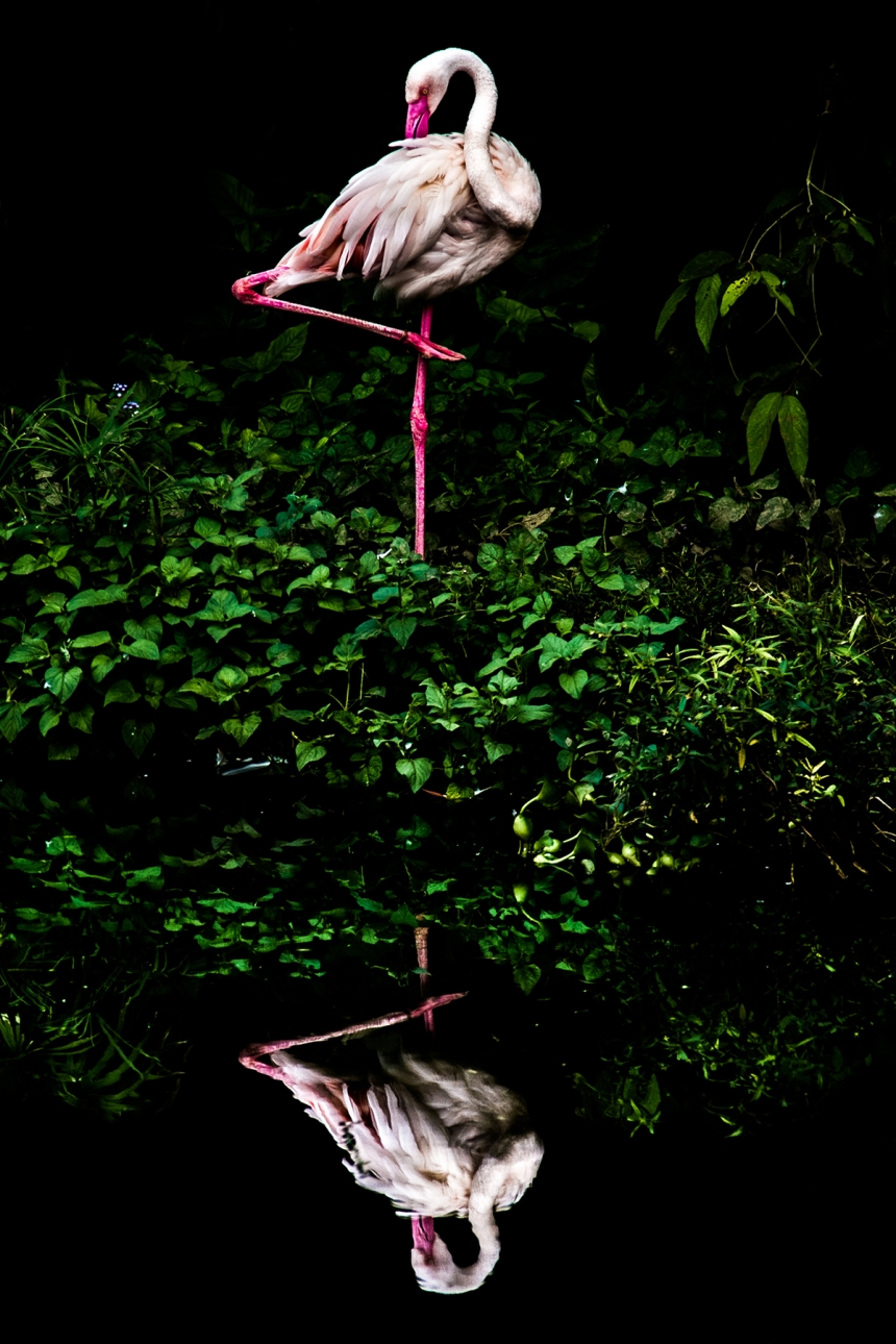 Cloud Flamingo - Steiner Wang. (Open Nature and Wildlife)