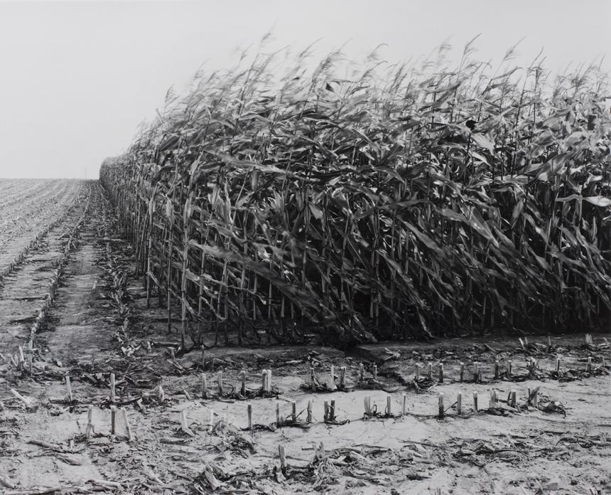 Maize Cutting at Serre. © Peter Cattrell