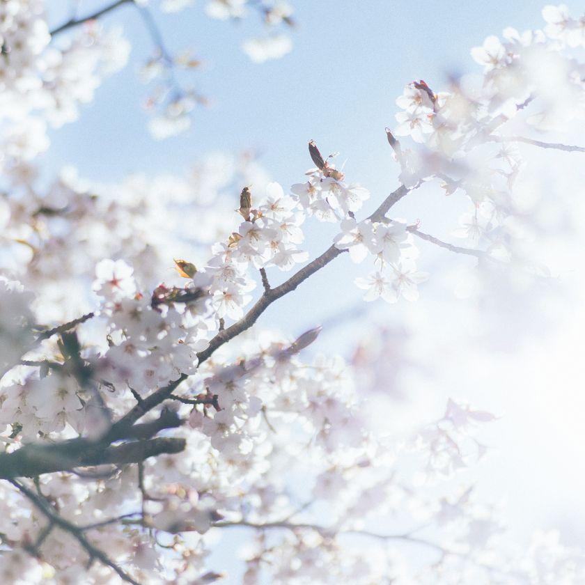 Kumano Cherry Photo by Daisuke Kawashima, winner in the Photography and Photo Manipulation Design Category, 2020-2021.