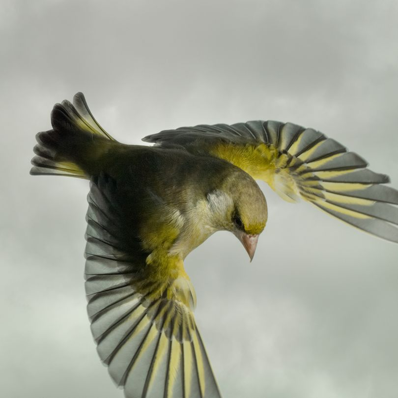 Greenfinch © Mark Harvey