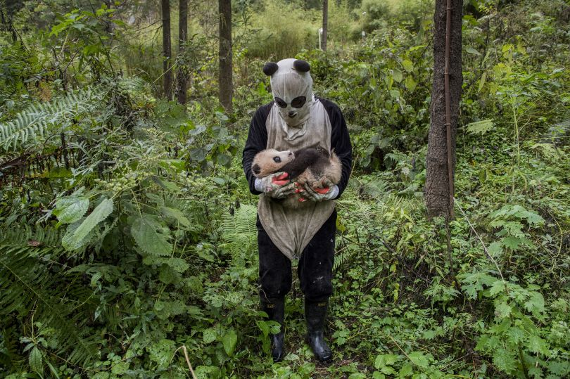 Is a panda cub fooled by a panda suit? That's the hope at Wolong's Hetaoping center, where captive-bred bears training for life in the wild are kept relatively sheltered from human contact, even during a rare hands-on checkup | © Ami Vitale, United States of America, Shortlist, Professional, Natural World, 2017 Sony World Photography Awards